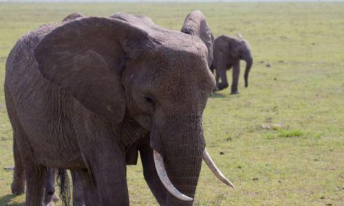 Zdjecie KENIA / Masai Mara / Masai Mara / Mamusiu, ale ty masz wielkie uszy.....