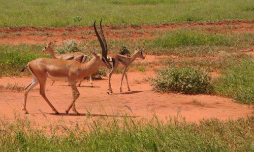 Zdjecie KENIA / Tsavo East  / Park narodowy  / popoludniowe spacery w grupie