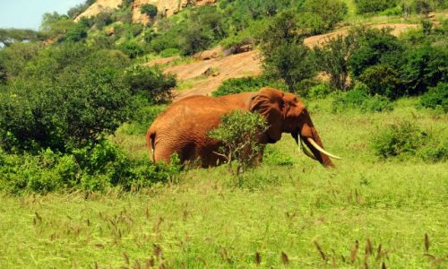 KENIA / Tsavo East / Tsavo National Park / krzeak na tle slonia i slon na tle krzaka