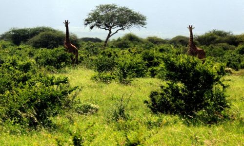 Zdjecie KENIA / Tsavo East / Tsavo National Park / las zyrafas
