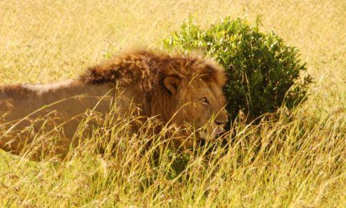 Zdjecie KENIA / - / Kenia / Lew