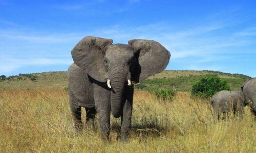 Zdjecie KENIA / - / masai mara,nakuru i kakamega / safari