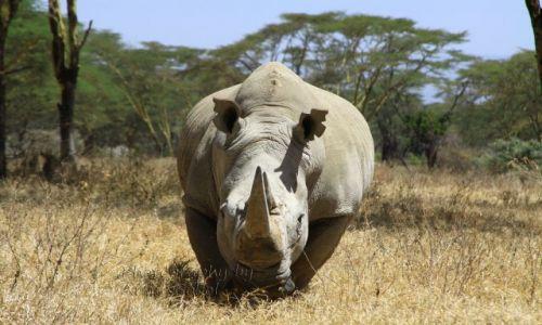 Zdjęcie KENIA / - / nakuru / safari