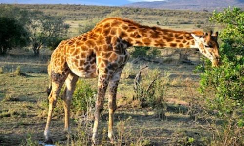Zdjecie KENIA / - / Safari / Safari