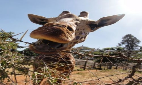 KENIA / - / Nairobi / akacja z rana jak śmietana