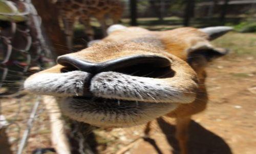 Zdjecie KENIA / - / Nairobi / gazela Thomsona