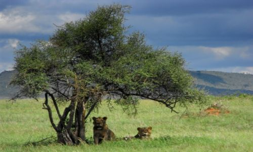 Zdjecie KENIA / Tsawo West / park narodowy / kenijskie safari