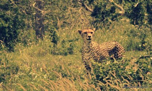 Zdjecie KENIA / Tsavo West. / Thaita Hills / Cheetah.