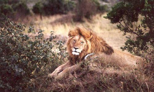 Zdjecie KENIA / MASAI MARA / Sawanna / Pan i Władca (Simba w Swahili)