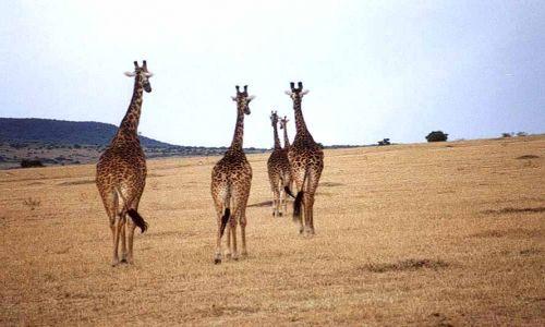 Zdjecie KENIA / MASAI MARA / SAWANNA / ŻYRAFY