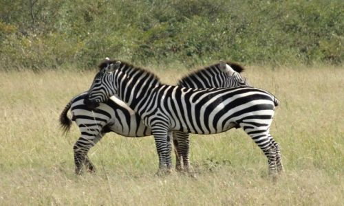 Zdjecie KENIA / Masai Mara Park / Masai Mara / zebras