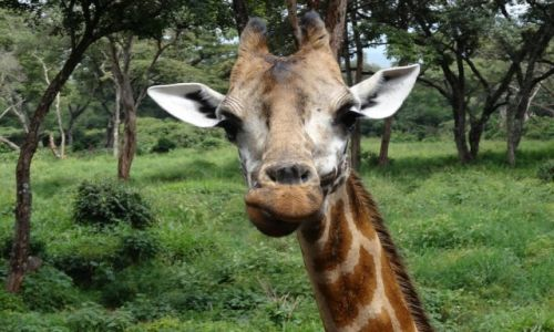 Zdjecie KENIA / Nairobi / Giraffe Center / Całuśna