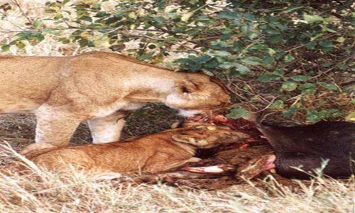 Zdjecie KENIA / MASAI MARA / SAWANNA / Pierwsze Śniadanie