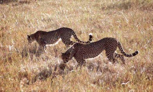 Zdjecie KENIA / MASAI MARA / SAWANNA / Gepardy
