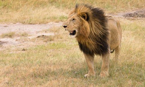 Zdjęcie KENIA / NP Masai Mara / NP Masai Mara / Król