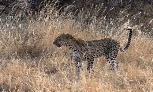 Zdjęcie KENIA / NP Samburu / NP Samburu / Kocurek
