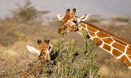 Zdjęcie KENIA / NP Samburu / NP Samburu / Żyfafy