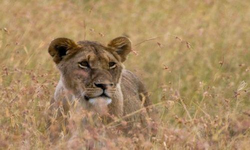Zdjęcie KENIA / NP Masai Mara / NP Masai Mara / Lwiczka