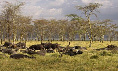 Zdjecie KENIA / NP Nakuru / NP Nakuru / Odpoczywające bawoły