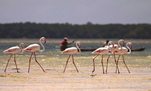 Zdjecie KENIA / Watamu / Mida Creek / Flamingi różowe
