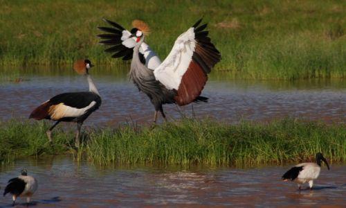 KENIA / między Nairobi a wybrzeżem / Park Narodowy Tsavo / Żurawie