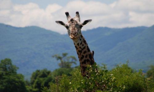 Zdjecie KENIA / między Nairobi a wybrzeżem / Park Narodowy Tsavo / Żyrafa