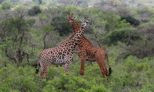 KENIA / Tsavo West NP / Tsavo West NP / Żyrafa siatkowa