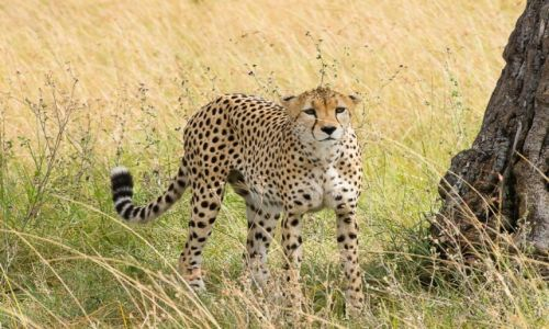 Zdjecie KENIA / NP Masai Mara / NP Masai Mara / Gepard