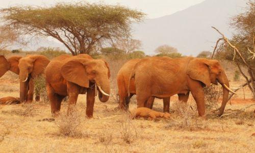 Zdjecie KENIA / west / tsavo / Safari