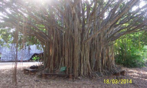 Zdjecie KENIA / park hallera / Mombasa / niezwykle drzewo