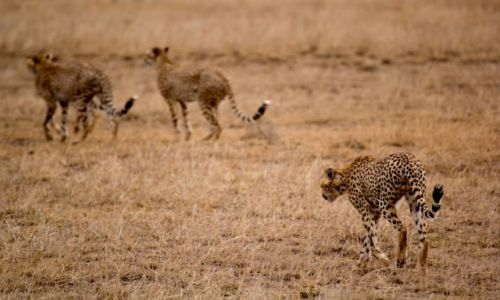 Zdjecie KENIA / Amboseli / National PArk / c.d.