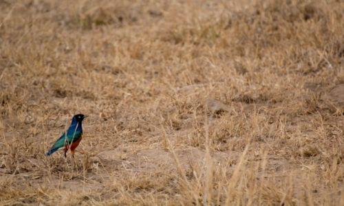 Zdjecie KENIA / Amboseli / National PArk / błyszczyk