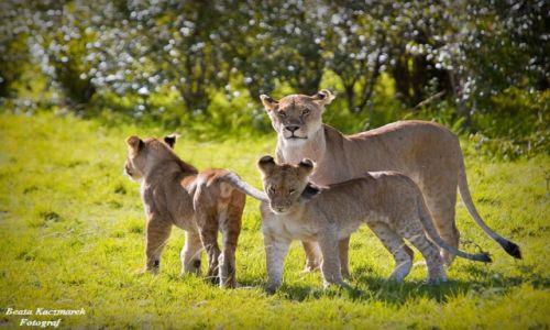 Zdjęcie KENIA / Kenia / Rezerwat Masai Mara / Lwia rodzinka