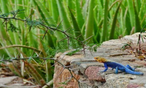 Zdjęcie KENIA / - / okolice Mombasy / Wygrzewajaca sie jaszczurka