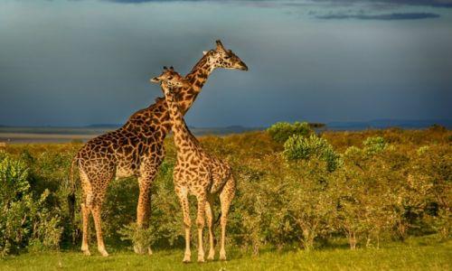 Zdjęcie KENIA / Kenia / Rezerwat Masai Mara / Żyrafy w Masai Mara