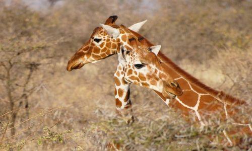 Zdjęcie KENIA / NP Samburu / NP Samburu / Zalotne spojrzenie
