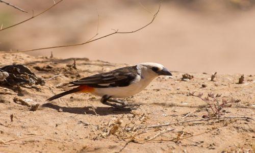Zdjecie KENIA / NP Samburu / NP Samburu / Do rozpoznania3