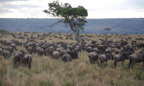 KENIA / MASAI MARA / SAFARI / ANTYLOPY GNU