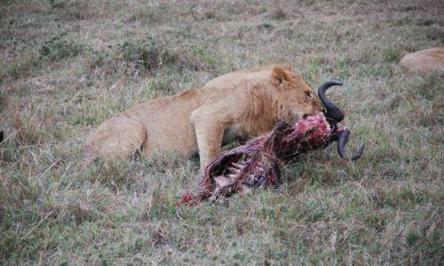 Zdjęcie KENIA / Masai Mara / SAFARI / OBIAD LWA
