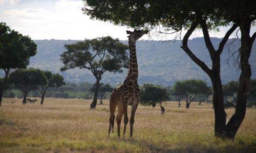 KENIA / Masai Mara / SAFARI / Żyrafa