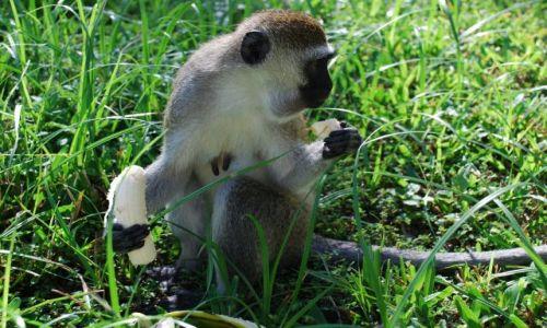 Zdjęcie KENIA / Wybrzeże / okolice Mombasy / Małpka z bananem