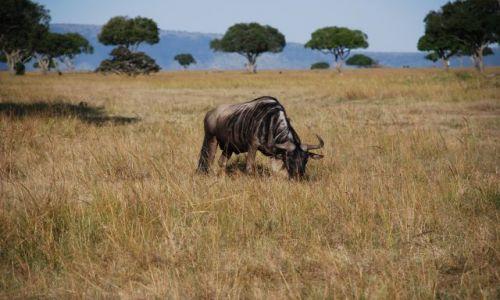 Zdjęcie KENIA / Masai Mara / SAFARI / Antylopa Gnu
