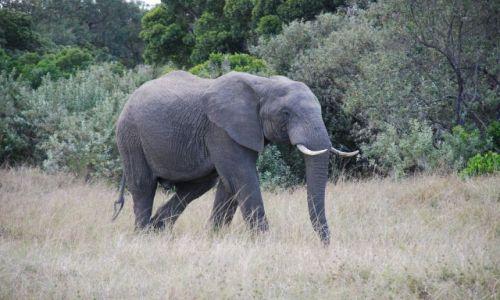 Zdjęcie KENIA / Masai Mara / SAFARI / Słoń na spacerze