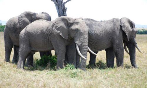 Zdjęcie KENIA / Masai Mara / SAFARI / Słonie