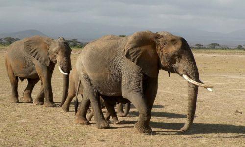 Zdjęcie KENIA / płd Kenia / Park Narodowy Amboseli / Słonie