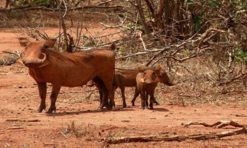 Zdjęcie KENIA / płd Kenia / Park Narodowy Tsavo / Hakuna matata