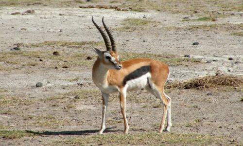 Zdjęcie KENIA / płd Kenia / Amboseli / Gazela