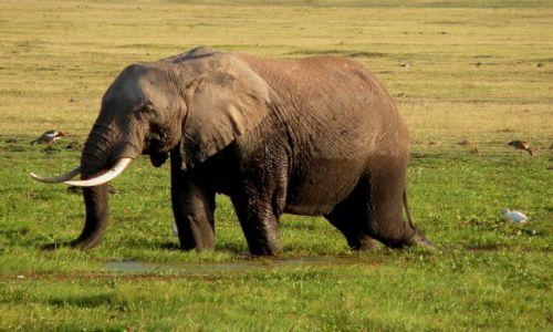Zdjęcie KENIA / płd Kenia / Amboseli / Brodzący słoń