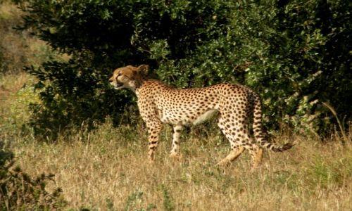 Zdjęcie KENIA / płd Kenia / Tsavo West / Gepard