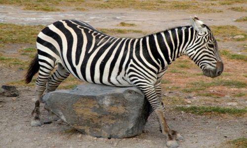 Zdjęcie KENIA / płd Kenia / Amboseli / Kolizja?